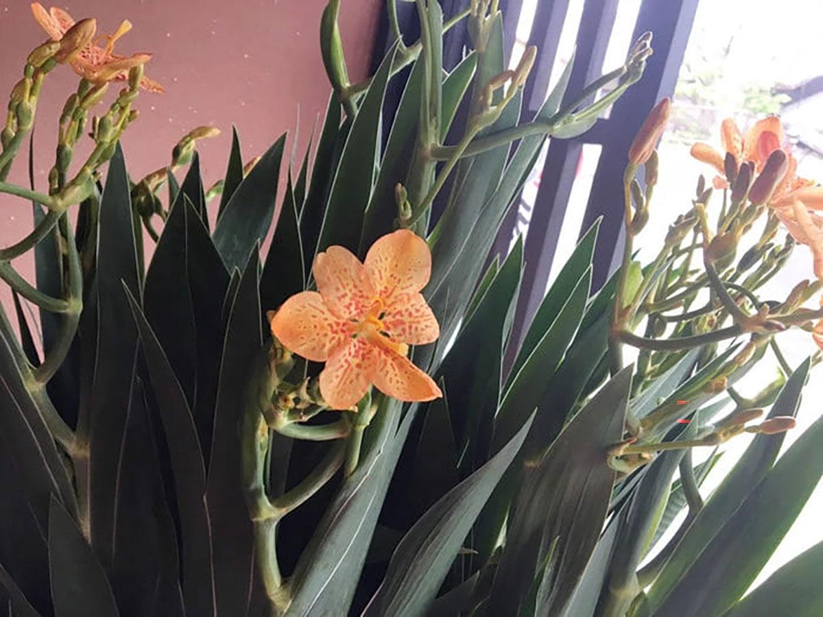 祇園祭の期間中に咲く花「ヒオウギ」