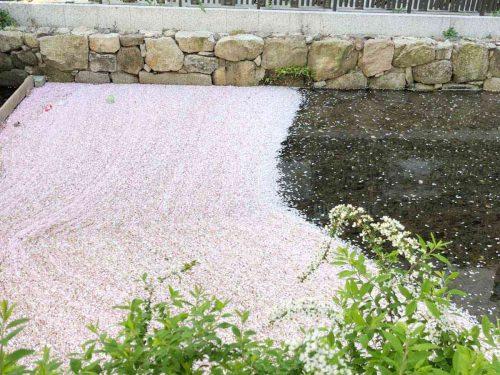 高瀬川の花筏