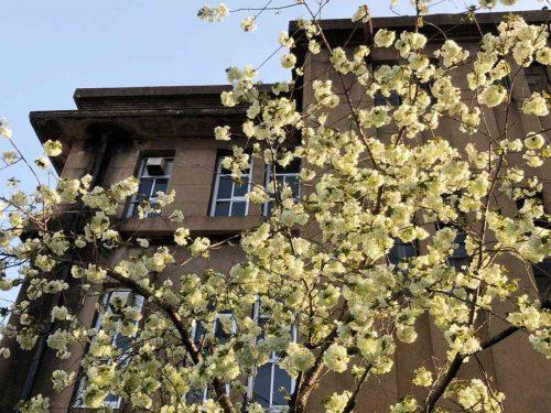 立誠小学校の鬱金の桜