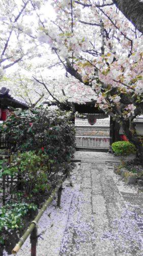 西陣の聖天の桜