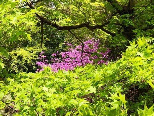 亀山公園の新緑とミツバツツジ