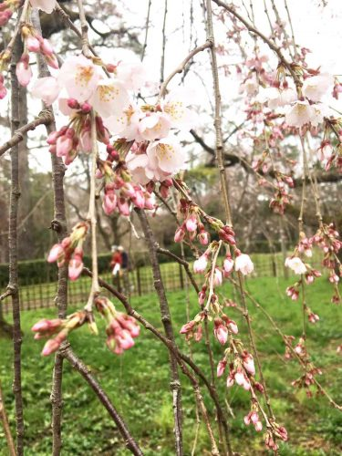 京都御苑 近衛の糸桜