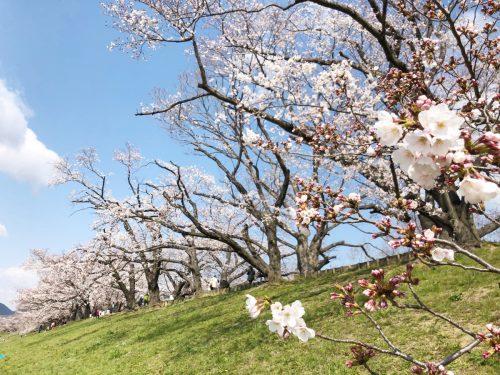 八幡の桜1
