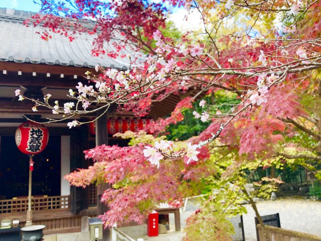 赤山禅院の不断桜