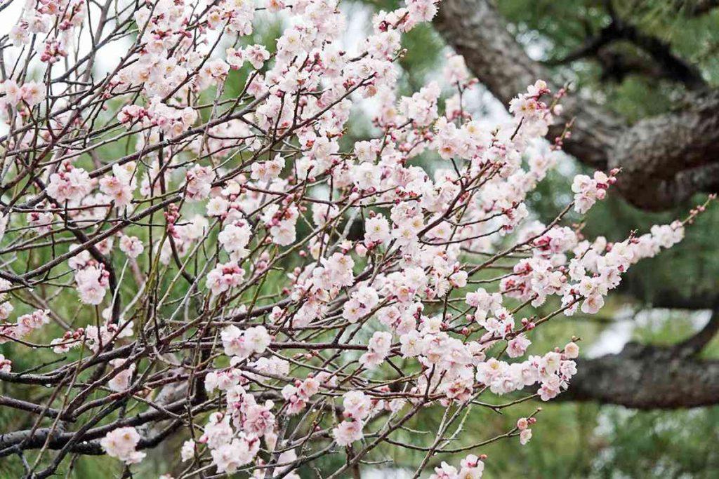 二条城の梅の花